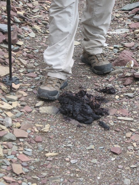 Huckleberry laden Grizzly scat
