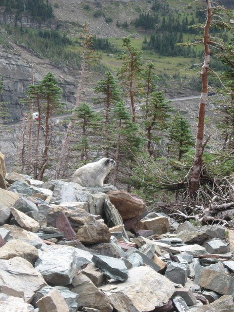 Hoary Marmot, apparently common dinner for the Great Horned Owl