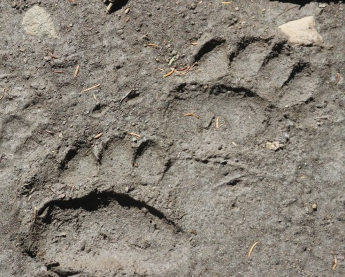 Bear Tracks on the Mt. Washburn Trail!