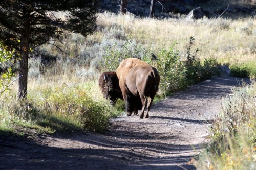 The Bison who blocked our way.