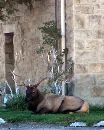 The bull elk at the post office.