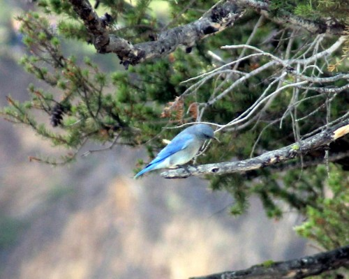 One of a flock of mountain bluebirds.