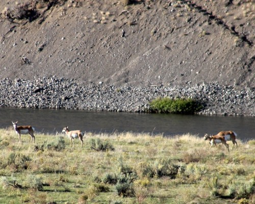 Pronghorn in the Lamar Valley.