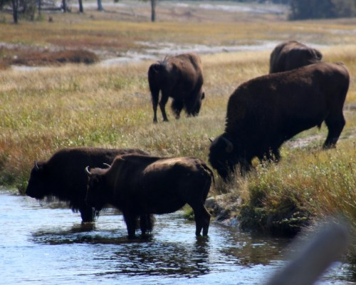 Bison on the Firehole