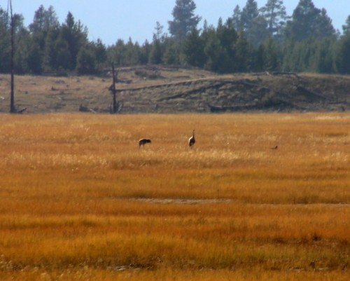 Sandhill cranes: we got a better look at them through the scope