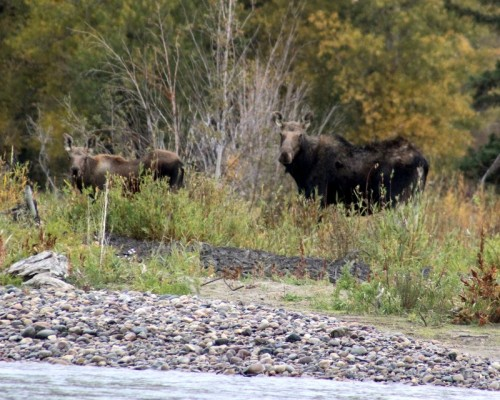 The cow and her calf turn to look at us after the guide imitated a bull moose in rut.