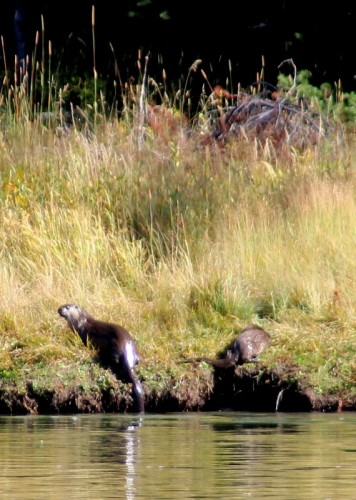 River otters fishing and frolicking at Cattleman's Crossing.